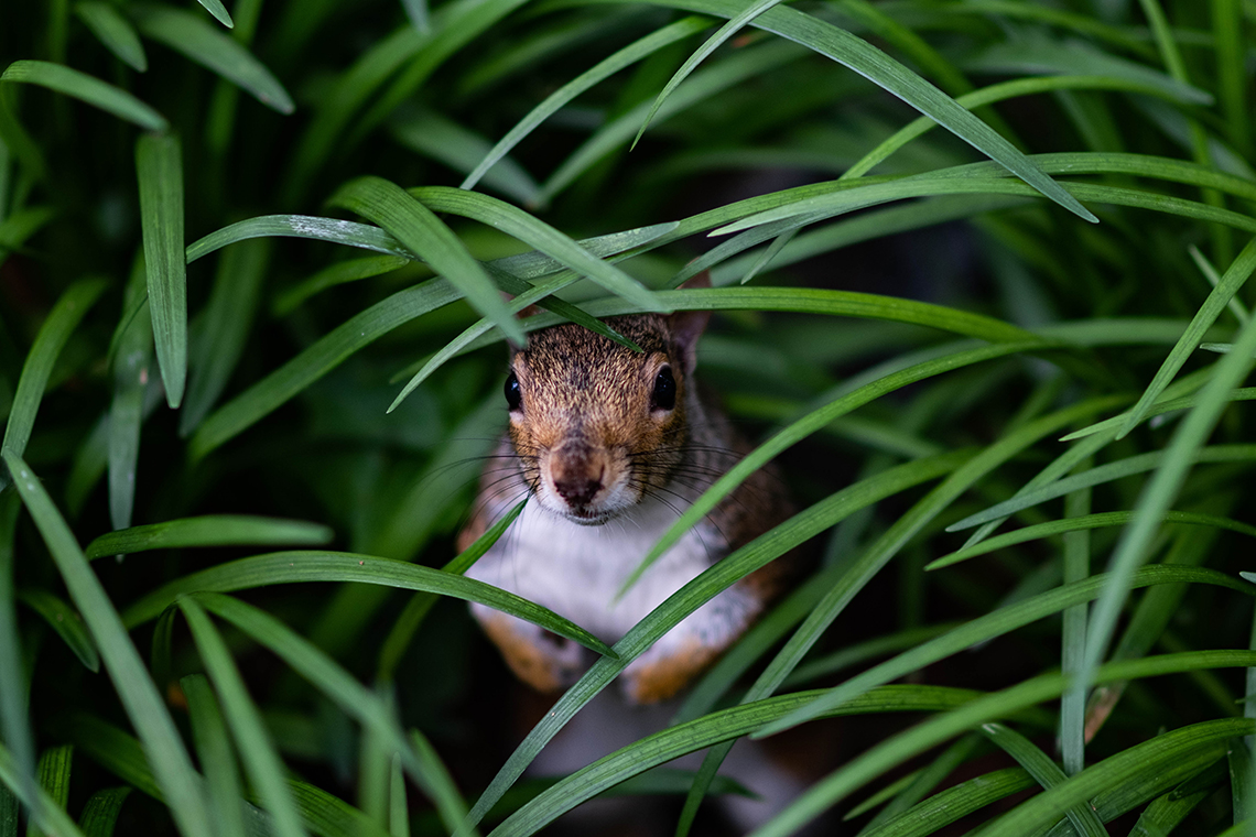 hidden squirrel in grass