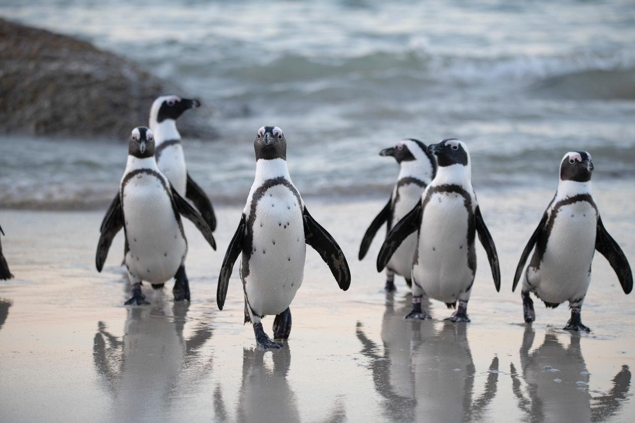 penguins running towards camera