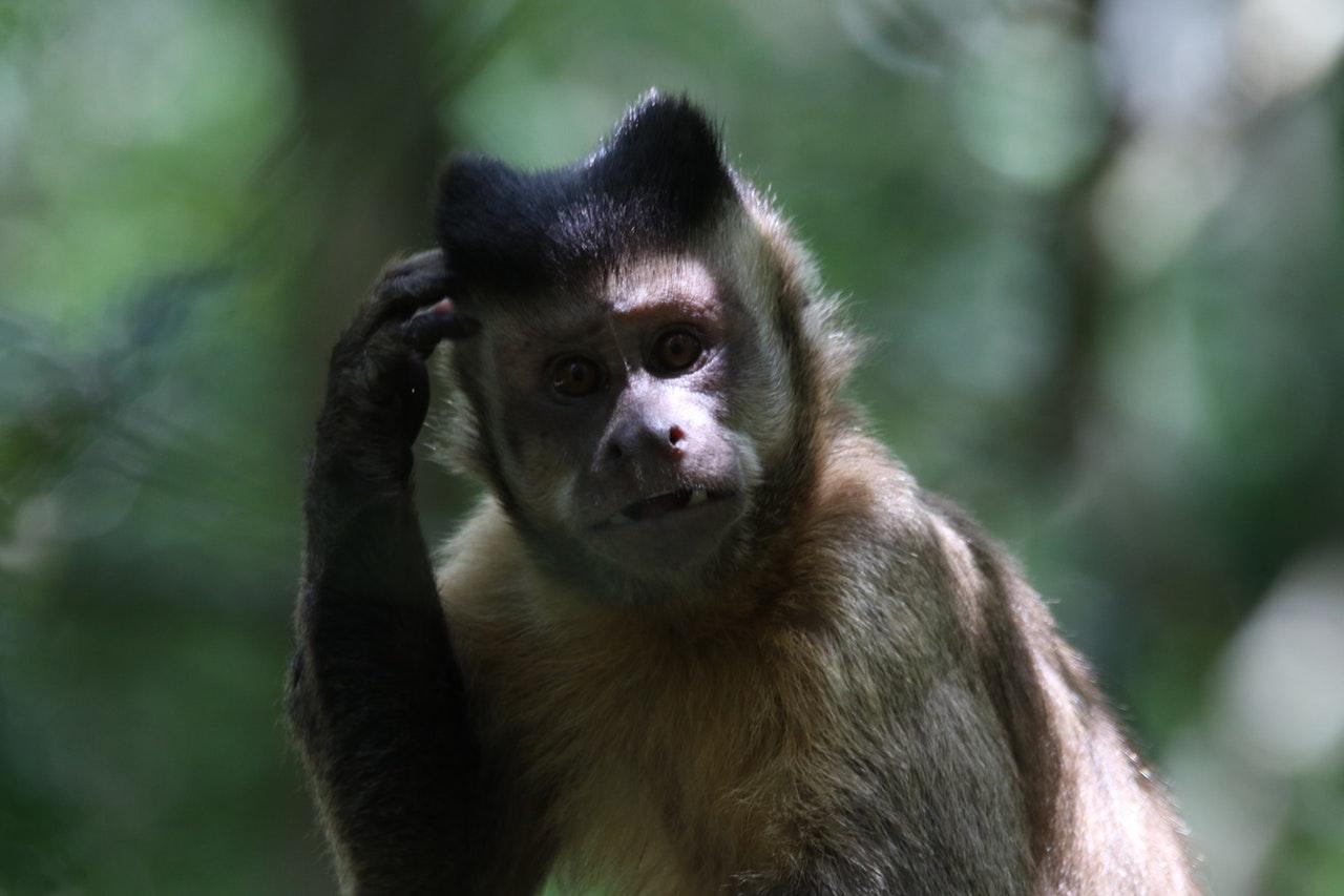 monkey scratching head